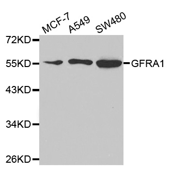 GFRA1 / GFR Alpha Antibody - Western blot analysis of extracts of various cell lines, using GFRA1 antibody at a 1:1000 dilution.