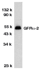 GFRA2 Antibody - Western blot of GFRa-2 in HeLa total cell lysate with GFRa-2 antibody at 1:1000 dilution.