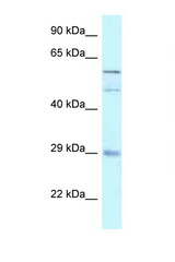 GFRA4 antibody Western blot of 721_B Cell lysate. Antibody concentration 1 ug/ml.  This image was taken for the unconjugated form of this product. Other forms have not been tested.