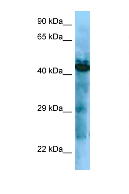 GHSR / Ghrelin Receptor antibody Western blot of ACHN Cell lysate. Antibody concentration 1 ug/ml.  This image was taken for the unconjugated form of this product. Other forms have not been tested.