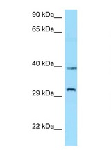 GHSR / Ghrelin Receptor antibody Western blot of Jurkat Cell lysate. Antibody concentration 1 ug/ml.  This image was taken for the unconjugated form of this product. Other forms have not been tested.