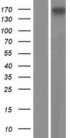 GIGYF2 Protein - Western validation with an anti-DDK antibody * L: Control HEK293 lysate R: Over-expression lysate