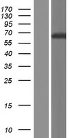 GIN1 Protein - Western validation with an anti-DDK antibody * L: Control HEK293 lysate R: Over-expression lysate