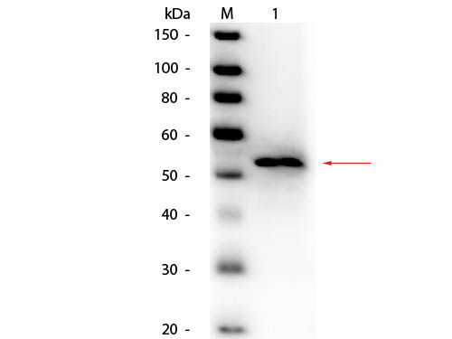 GK / Glycerol Kinase Antibody - Western Blot of Goat anti-Glycerol Kinase (Cellulomonas species) Antibody Peroxidase Conjugated. Lane 1: Glycerol Kinase (Cellulomonas species). Load: 50 ng per lane. Primary antibody: Goat anti-Glycerol Kinase (Cellulomonas species) Antibody Peroxidase Conjugated at 1:1,000 overnight at 4°C. Secondary antibody: n/a. Block: MB-070 for 30 minutes at RT. Predicted/Observed size: 55 kDa, 55 kDa for Glycerol Kinase.