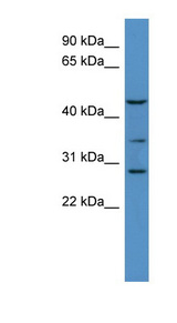 B3GALT2 antibody Western blot of Mouse Brain lysate. This image was taken for the unconjugated form of this product. Other forms have not been tested.