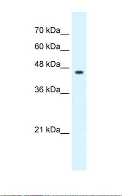 Jurkat cell lysate. Antibody concentration: 0.25 ug/ml. Gel concentration: 12%.  This image was taken for the unconjugated form of this product. Other forms have not been tested.