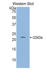 Western blot of recombinant GLO1 / Glyoxalase I.  This image was taken for the unconjugated form of this product. Other forms have not been tested.