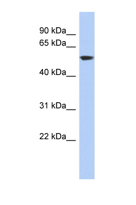 GLUD1 antibody Western blot of HT1080 Cell lysate. Antibody concentration 1 ug/ml. This image was taken for the unconjugated form of this product. Other forms have not been tested.