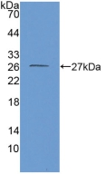 Western Blot; Sample: Recombinant GDH, Mouse.
