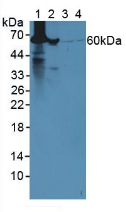 Western Blot; Sample: Lane1: Mouse Liver Tissue; Lane2: Mouse Lung Tissue; Lane3: Human Hela Cells; Lane4: Human 293T Cells.