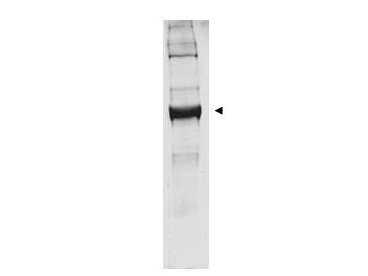 Anti-Bovine Glutamate Dehydrogenase Antibody - Western Blot. Western blot analysis is shown using anti-bovine glutamate dehydrogenase antibody to detect the enzyme from bovine liver preparations. Comparison to a molecular weight marker indicates a predominant band of ~62 kD. The higher molecular weight band may represent a subunit dimer. A 4-20% gradient gel was used to separate proteins prior to transfer to 0.2 micron nitrocellulose. The blot was incubated with a 1:1000 dilution of the antibody for 2 h at room temperature followed by detection using IRDye800 labeled Goat-a-Rabbit IgG [H&L] ( diluted 1:5000 for 45 min at room temperature. IRDye800 fluorescence image was captured using the Odyssey Infrared Imaging System developed by LI-COR. IRDye is a trademark of LI-COR, Inc. Other detection systems will yield similar results.