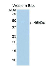 GLUL / Glutamine Synthetase Antibody - Western blot of recombinant GLUL / Glutamine Synthetase.  This image was taken for the unconjugated form of this product. Other forms have not been tested.