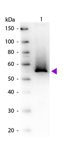 GLUL / Glutamine Synthetase Antibody - Western blot of Goat Anti-Glutamine Synthetase primary antibody. Lane 1: Glutamine Synthetase. Lane 2: None. Load: 50 ng per lane. Primary antibody: Glutamine Synthetase antibody at 1:1,000 overnight at 4°C. Secondary antibody: Peroxidase goat secondary antibody at 1:40,000 for 30 min at RT. Blocking: MB-070 for 30 min at RT. Observed/Predicted size: 54 kDa, 54 kDa for Glutamine Synthetase (Brevibacterium). Other band(s): None.