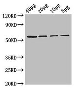 Glycerol Kinase Antibody - Western Blot Positive WB detected in: Rosseta bacteria lysate at 40µg, 20µg, 10µg, 5µg All lanes: glpK antibody at 2.5µg/ml Secondary Goat polyclonal to rabbit IgG at 1/50000 dilution Predicted band size: 57 kDa Observed band size: 57 kDa