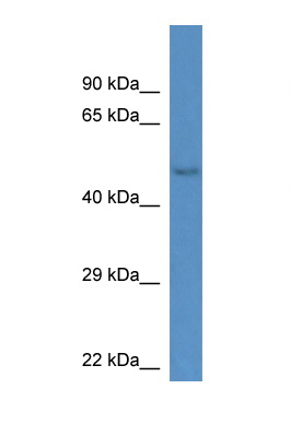GM13178 antibody LS-C135164 Western blot of Mouse Kidney lysate. Antibody concentration 1 ug/ml.  This image was taken for the unconjugated form of this product. Other forms have not been tested.