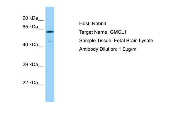 GMCL1 Antibody -  This image was taken for the unconjugated form of this product. Other forms have not been tested.