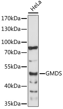 GMDS / GMD Antibody - Western blot analysis of extracts of HeLa cells, using GMDS antibody at 1:1000 dilution. The secondary antibody used was an HRP Goat Anti-Rabbit IgG (H+L) at 1:10000 dilution. Lysates were loaded 25ug per lane and 3% nonfat dry milk in TBST was used for blocking. An ECL Kit was used for detection and the exposure time was 60s.