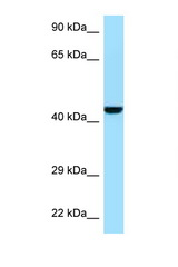 GMPPB antibody Western blot of Mouse Pancreas lysate. Antibody concentration 1 ug/ml.  This image was taken for the unconjugated form of this product. Other forms have not been tested.