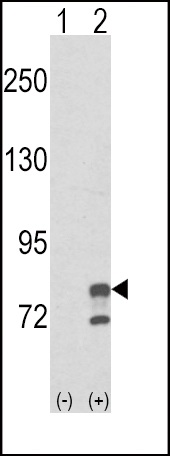 Western blot of GMPS (arrow) using rabbit polyclonal GMPS Antibody. 293 cell lysates (2 ug/lane) either nontransfected (Lane 1) or transiently transfected with the GMPS gene (Lane 2) (Origene Technologies).