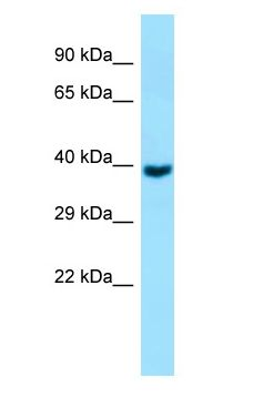 GNA11 antibody Western Blot of Fetal Brain.  This image was taken for the unconjugated form of this product. Other forms have not been tested.