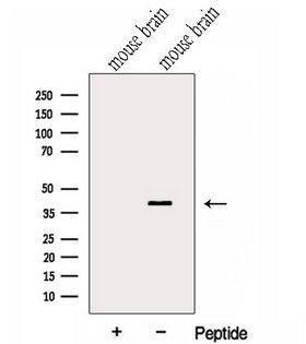 GNAI2 Antibody - Western blot analysis of extracts of mouse brain tissue using GNAI2 antibody. The lane on the left was treated with blocking peptide.