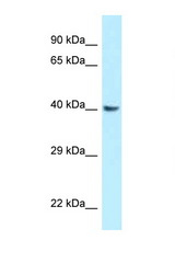 GNAQ antibody Western blot of Rat Brain lysate. Antibody concentration 1 ug/ml.  This image was taken for the unconjugated form of this product. Other forms have not been tested.