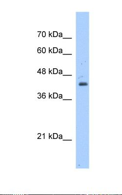 Jurkat cell lysate. Antibody concentration: 1.25 ug/ml. Gel concentration: 12%.  This image was taken for the unconjugated form of this product. Other forms have not been tested.