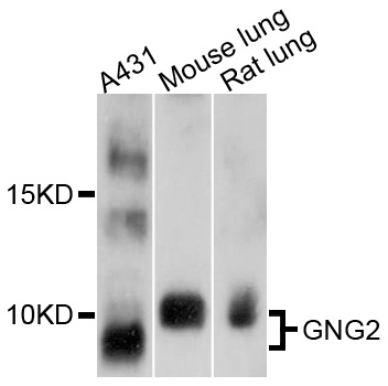 GNG2 Antibody - Western blot analysis of extracts of various cell lines, using GNG2 antibody at 1:1000 dilution. The secondary antibody used was an HRP Goat Anti-Rabbit IgG (H+L) at 1:10000 dilution. Lysates were loaded 25ug per lane and 3% nonfat dry milk in TBST was used for blocking. An ECL Kit was used for detection and the exposure time was 30s.