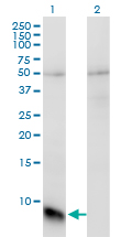 Western Blot analysis of GNGT1 expression in transfected 293T cell line by GNGT1 monoclonal antibody (M01), clone 1F8.Lane 1: GNGT1 transfected lysate(8.5 KDa).Lane 2: Non-transfected lysate.