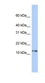 GNGT2 antibody Western blot of 293T cell lysate. This image was taken for the unconjugated form of this product. Other forms have not been tested.