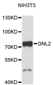 Western blot analysis of extracts of NIH/3T3 cells, using GNL2 antibody at 1:3000 dilution. The secondary antibody used was an HRP Goat Anti-Rabbit IgG (H+L) at 1:10000 dilution. Lysates were loaded 25ug per lane and 3% nonfat dry milk in TBST was used for blocking. An ECL Kit was used for detection and the exposure time was 90s.