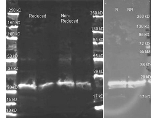 Goat anti GST antibody was used to detect GST under reducing and non-reducing conditions. Reduced samples of purified GST contained 4% BME and were boiled for 5 minutes. For blot on the left, samples of ~1 and 0.25 ug of protein per lane were run by SDS-PAGE. Protein was transferred to nitrocellulose and probed with Goat anti GST (1:5K in MB-0070, overnight 4°C). Primary antibody was detected with Dylight 649 conjugated Donkey anti Goat (605-743-125 lot 20834 1:10K 1.5 hr RT in MB-070) and imaged on the BioRad VersaDoc imaging system. Blot on right shows a repeat western blot with the same samples (~1 ug per lane, reduced ® and non-reduced (NR) probed 1:1000 dilution of primary antibody and detection using Dylight 549 conjugated Donkey anti goat (605-742-125 lot 21096 1:10K 1.5 hr RT in MB-070)