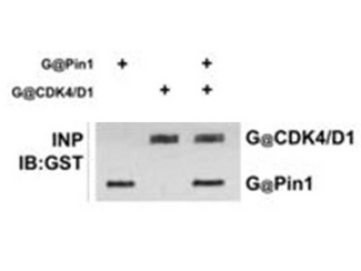 """Anti-GST Antibody - Western Blot. anti-GST polyclonal antibody in western blot shows detection of recombinant GST (indicated by band at ~28 kD). The SDS-PAGE contained approximately 0.2 ug of rGST loaded on to a 4-20% gradient gel for separation. After electrophoresis, the gel was transferred to nitrocellulose and blocked with """"Blocking Buffer for Fluorescent Western Blot"""" MB-070 in TBS for 1h at RT. The membrane was probed with anti-GST antibody at a 1:2000 dilution in blocking reagent, overnight at 4C. For detection DyLight800 conjugated Donkey-a-Goat IgG (p/n was used at a 1:20000 dilution (in blocking reagent) for 30 min at 25? C. Fluorescent data was collected on a LICOR Odyssey instrument."""