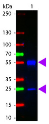 Mouse IgG Antibody - Western Blot of ATTO 425 conjugated Goat anti-Mouse IgG antibody. Lane 1: Mouse IgG. Lane 2: none. Load: 50 ng per lane. Primary antibody: none. Secondary antibody: ATTO 425 mouse secondary antibody at 1:1,000 for 60 min at RT. Block: MB-070 for 30 min RT. Predicted/Observed size: 55 kDa, 28 kDa for Mouse IgG. Other band(s): none.