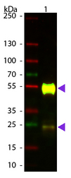 Mouse IgG Antibody - Western Blot of ATTO 594 conjugated Goat anti-Mouse IgG Pre-adsorbed secondary antibody. Lane 1: Mouse IgG. Lane 2: none. Load: 50 ng per lane. Primary antibody: none. Secondary antibody: ATTO 594 goat secondary antibody at 1:1,000 for 60 min at RT. Block: MB-070 for 30 min at RT. Predicted/Observed size: 25 & 55 kDa, 25 & 55 kDa for Mouse IgG. Other band(s): none.