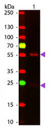 Mouse IgG Antibody - Western Blot of Goat anti-Mouse IgG Pre-Adsorbed ATTO 647N Conjugated Secondary Antibody. Lane 1: Mouse IgG. Lane 2: None. Load: 50 ng per lane. Primary antibody: None. Secondary antibody: ATTO 647N goat secondary antibody at 1:1,000 for 60 min at RT. Block: MB-070 for 30 min at RT. Predicted/Observed size: 25 & 55 kDa, 25 & 55 kDa for Mouse IgG. Other band(s): None.
