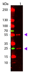 Mouse IgG Antibody - Western Blot of Goat anti-Mouse IgG Pre-Absorbed Atto 655 Conjugated Antibody. Lane 1: Mouse IgG. Lane 2: None. Load: 50 ng per lane. Primary antibody: None. Secondary antibody: Atto 655 goat secondary antibody at 1:1,000 for 60 min at RT. Block: MB-070 for 30 min at RT. Predicted/Observed size: 28 & 55 kDa, 28 & 55 kDa for Mouse IgG. Other band(s): None.