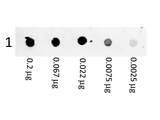 Phycoerythrin Goat F(ab)2 Anti-Mouse IgG (H&L) Antibody - Dot Blot. Dot Blot showing the detection of Mouse IgG. A three-fold serial dilution of Mouse IgG starting at 200 ng was spotted onto 0.45 um nitrocellulose. After blocking in 5% Blotto (B501-0500) 1 Hour at 20?, F(ab)2 Anti-Mouse IgG (H&L) (GOAT) Antibody Phycoerythrin conjugated Min X By Hm, Hs, Hu, Rb, Rt, & Sh Serum Proteins (p/n F(ab')2 Anti-MOUSE IgG (H&L) (GOAT) Antibody Phycoerythrin conjugated Min X Bv Hm, Hs, Hu Rb, Rt, & Sh Serum Proteins) secondary antibody was used at 1:1000 in Blocking Buffer for Fluorescent Western Blot (p/n MB-070) and imaged using the Bio-Rad VersaDoc 4000 MP.