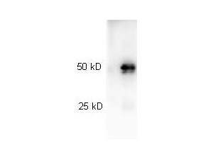 Western blot of Peroxidase conjugated Goat anti-Rabbit IgG antibody. Lane 1: Rabbit IgG. Lane 2: none. Load: 25 ng per lane. Primary antibody: none. Secondary antibody: Peroxidase goat secondary antibody at 1:40000 for 45 min at RT. Block: 5% BLOTTO overnight at 4C. Predicted/Observed size: 55 kDa, 28 kDa for Rabbit IgG. Other band(s): none. This image was taken for the unconjugated form of this product. Other forms have not been tested.