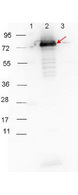 HRP-conjugated Goat-Anti-Rabbit secondary antibody-Western blot. HRP-conjugated Goat-Anti-Rabbit (LS-C60865) secondary antibody was used at 1:40000 in MB-070 blocking buffer to detect a rabbit primary antibody by Western Blot. Anti-p27 antibody (200-401-C30, 1:1000 RT 30 minutes) showed detection of 0.1 ug of recombinant p27 protein. Lane 1: Molecular weight markers. Lane 2: MBP-p27 fusion protein (arrow; expected MW: 73.3 kD). Lane 3: MBP alone. Protein was run on a 4-20% gel, then transferred to 0.45 micron nitrocellulose and blocked with 1% BSA-TTBS (p/n MB-013, diluted to 1X) overnight at 4°C. Blot was imaged on the VersaDoc MP 4000 imaging system (Bio-Rad). This image was taken for the unconjugated form of this product. Other forms have not been tested.