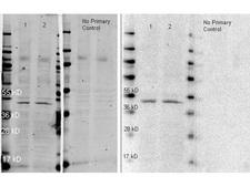 Rabbit IgG Antibody - HRP conjugated Anti-Rabbit IgG polyclonal antibody-Western blot. HRP conjugated anti-rabbit antibody was used to detect anti-Beta Actin antibody (LS-B323 lot 26928). HeLa (Lane 1) and NIH 3T3 (Lane 2) Whole cell lysates were run on a 4-20% gel, transferred to nitrocellulose under standard conditions, and incubated with anti-beta actin at a dilution of 1:2000 (ON 4C). For secondary antibody detection, blot was incubated for 1 hr RT simultaneously with: 1. ATTO 647N conjugated anti-rabbit antibody (p/n lot 26426C, 1:10000 in MB-070, Shown on Left and 2. HRP conjugated anti-rabbit IgG (Anti-RABBIT IgG (H&L) (GOAT) Antibody Peroxidase Conjugated  (Min X Human Serum Proteins) lot 19247, 1:10000 in MB-070, shown on right) Blot was dried, imaged at a wavelength of 700 nm on a LiCor Odyssey reader, rewetted in TBS and imaged after 2 min with a 30 sec exposure time using Femtomax-110 super sensitive Chemiluminescent substrate using the Bio-Rad Versa Doc Imaging System. This image was taken for the unconjugated form of this product. Other forms have not been tested.