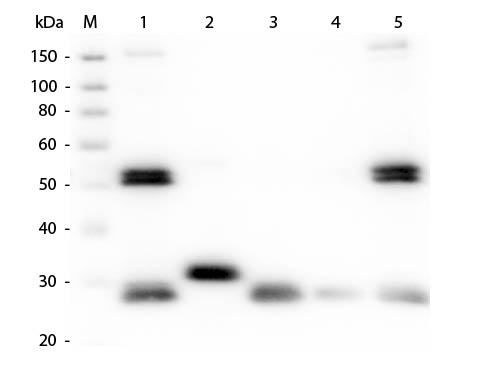 Rat IgG Antibody - Western Blot of Anti-Rat IgG (H&L) (GOAT) antibody Lane M: 3 µl Molecular Ladder. Lane 1: Rat IgG whole molecule Lane 2: Rat IgG F(c) Fragment Lane 3: Rat IgG Fab Fragment Lane 4: Rat IgM Whole Molecule Lane 5: Rat Serum All samples were reduced. Load: 50 ng per lane. Block: MB-070 for 30 min at RT. Primary Antibody: Anti-Rat IgG (H&L) (GOAT) antibody 1:1,000 for 60 min at RT. Secondary Antibody: Anti-Goat IgG (DONKEY) Peroxidase Conjugated antibody 1:40,000 in MB-070 for 30 min at RT. Predicted/Obsevered Size: 25 and 55 kDa for Rat IgG and Serum, 25 kDa for F(c) and Fab, 78 and 25 kDa for IgM. Rat F(c) migrates slightly higher.