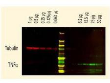 Rat IgG Antibody - Anti-Tubulin and Anti-TNFa Antibodies - Western Blot. DyLight dyes can be used for two-color Western Blot detection with low background and high signal. Anti-tubulin was detected using a DyLight 680 conjugate. Anti-TNFa was detected using a DyLight 800 conjugate. The image was captured using the Odyssey Infrared Imaging System developed by LI-COR.