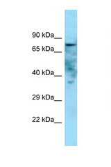 GOLIM4 / GOLPH4 antibody Western blot of Rat Muscle lysate. Antibody concentration 1 ug/ml.  This image was taken for the unconjugated form of this product. Other forms have not been tested.