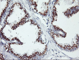 IHC of paraffin-embedded Human prostate tissue using anti-GOLM1 mouse monoclonal antibody.