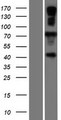 GP78 / AMFR Protein - Western validation with an anti-DDK antibody * L: Control HEK293 lysate R: Over-expression lysate
