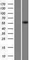 GPATCH2 Protein - Western validation with an anti-DDK antibody * L: Control HEK293 lysate R: Over-expression lysate