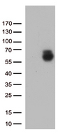 GPC1 / Glypican Antibody - HEK293T cells were transfected with the pCMV6-ENTRY control. (Left lane) or pCMV6-ENTRY GPC1. (Right lane) cDNA for 48 hrs and lysed. Equivalent amounts of cell lysates. (5 ug per lane) were separated by SDS-PAGE and immunoblotted with anti-GPC1. (1:500)