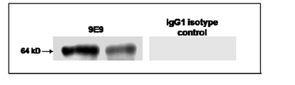 GPC1 / Glypican Antibody - At 1-10ug/ml, a band of approx. 64 kDa is detected in normal mouse brain.