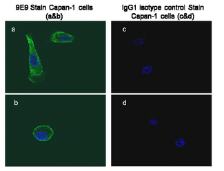 GPC1 / Glypican Antibody - At 1-10ug/ml, positive staining of human pancreatic carcinoma cell line Capan-1.